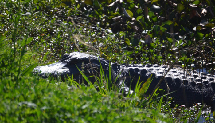 The Alligators of Brazos Bend State Park